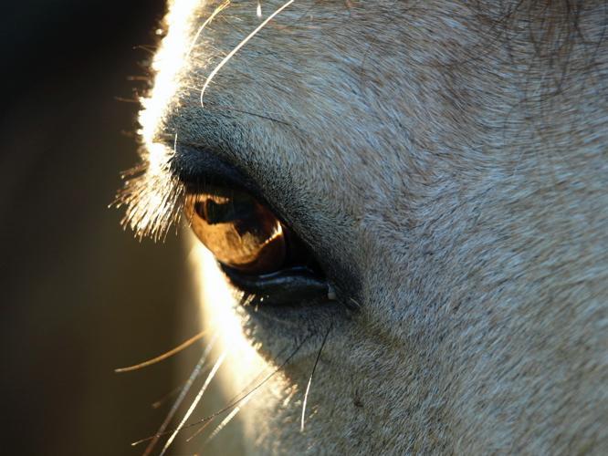 Im Auge des Pferdes spiegelt sich seine Seele.